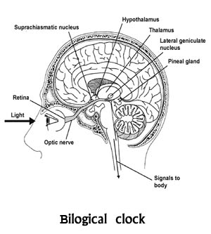 bilogical clock